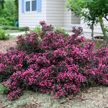 Weigela florida Proven Winners® Spilled Wine®