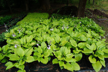 Hosta Sum and Substance 3g
