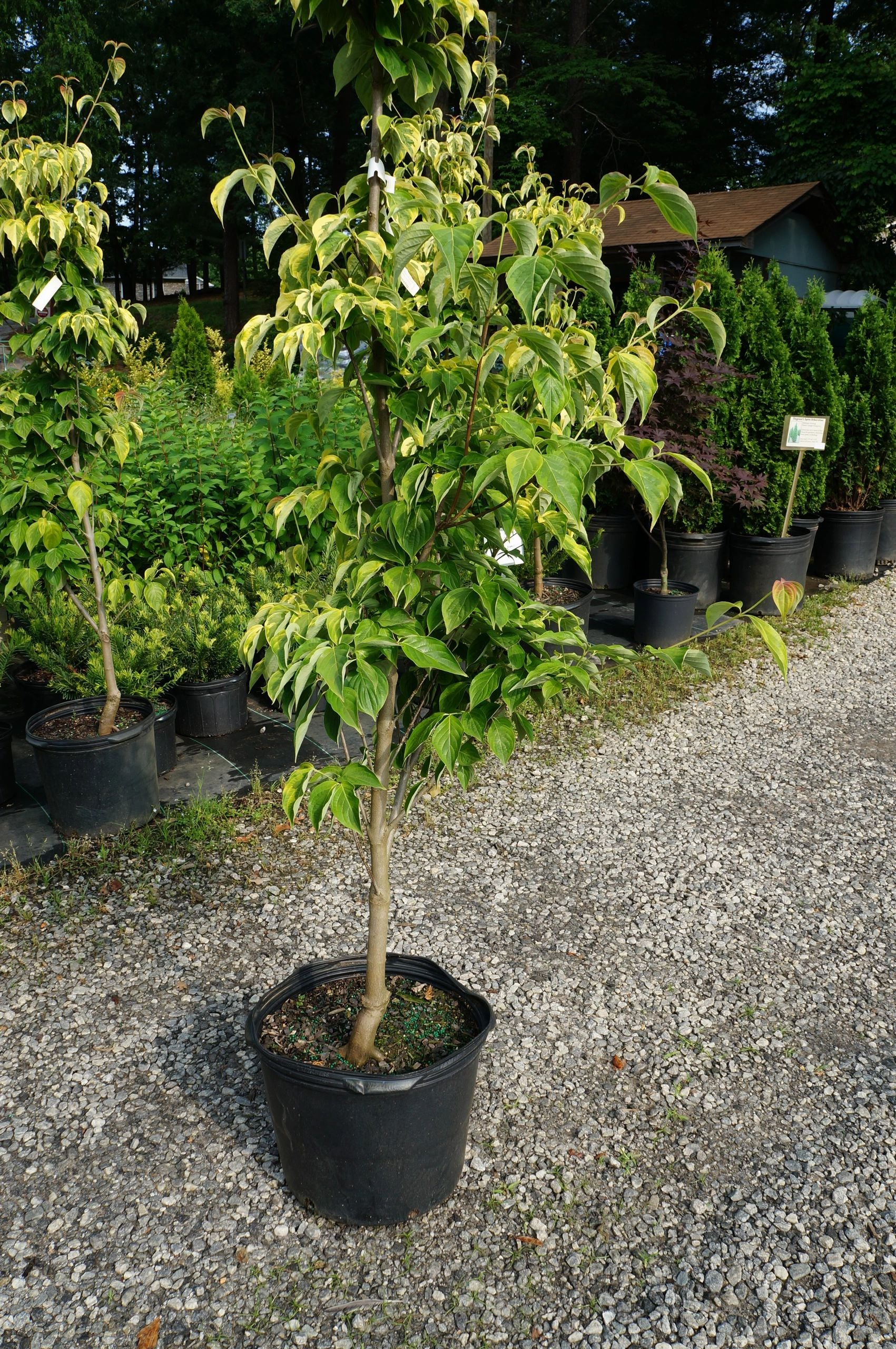 Cornus Celestial Shadow Dogwood 7G White