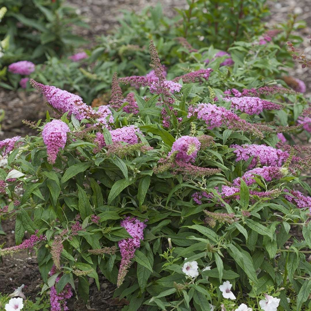 Buddleia Proven Winners® Pugster® Pink Butterfly Bush 3G