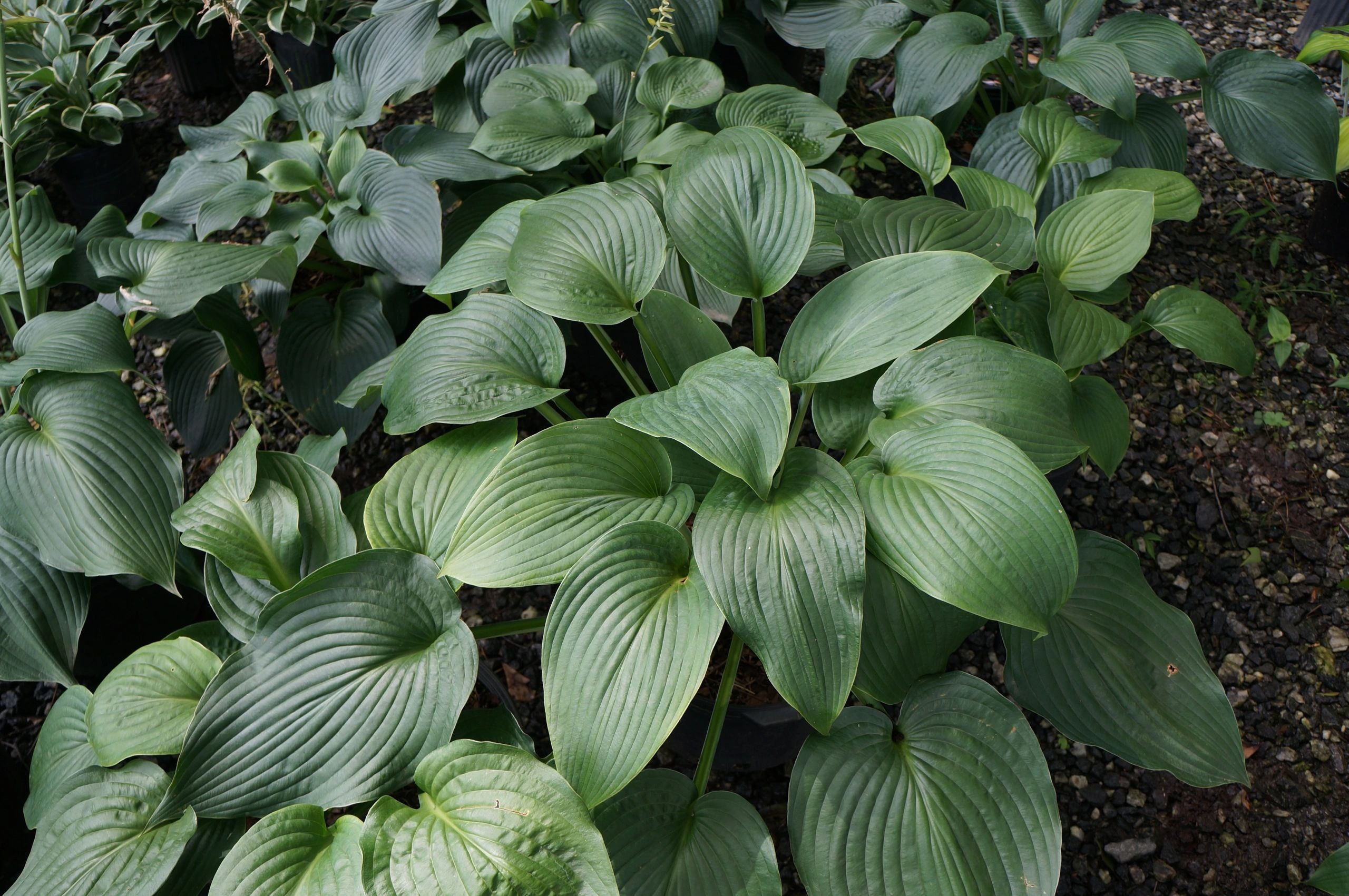 Hosta Blue Angel 3G
