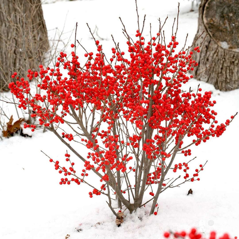 Ilex Verticillata Proven Winners® Berry Poppins Winterberry Holly 3G