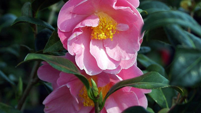 Camellia Pink Icicle 1g