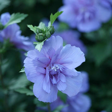 Hibiscus syriacus Proven Winners® Blue Chiffon® Rose of Sharon 3G