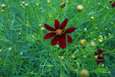 Coreopsis Red Satin 1g
