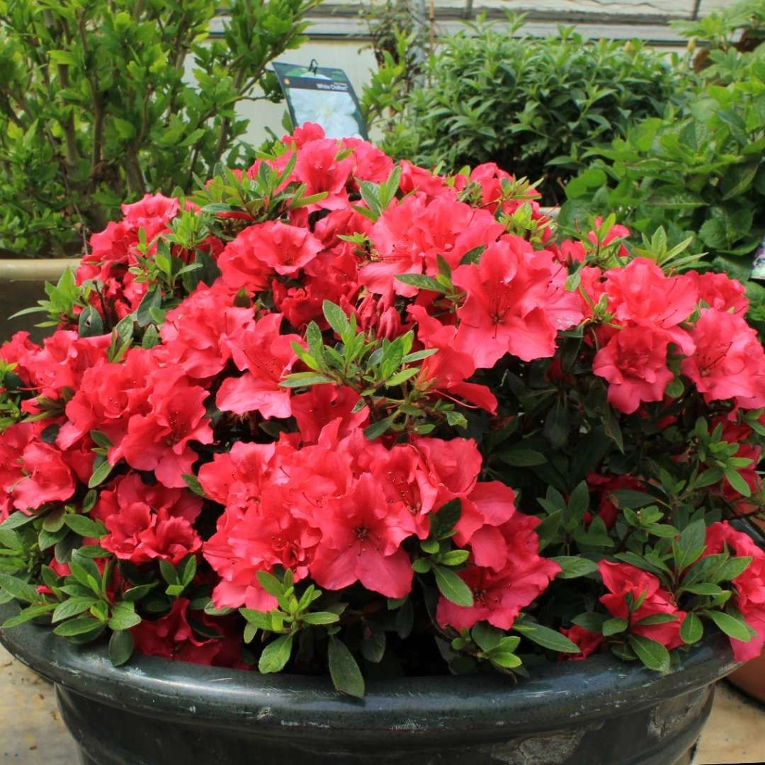 Azalea Proven Winners® Bloom-A-Thon® Red 3G