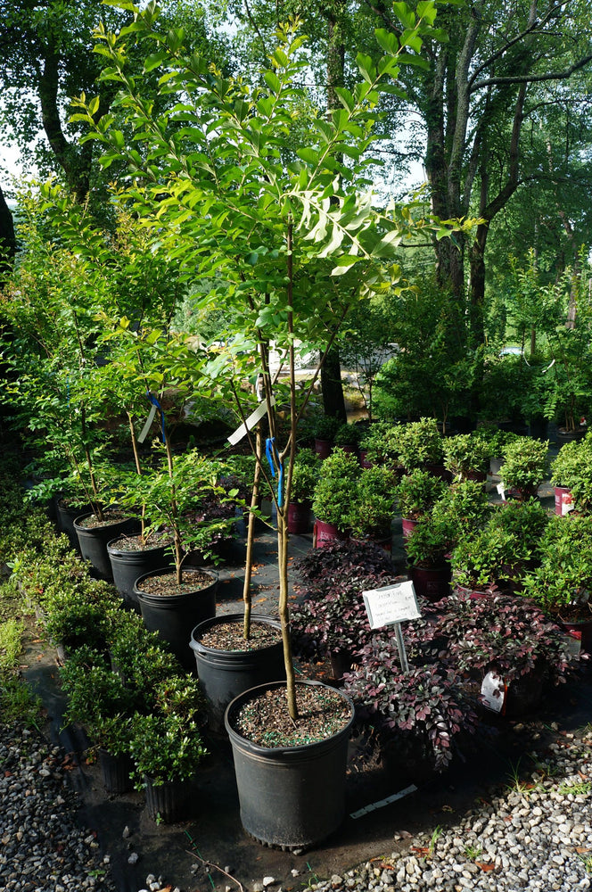 Lagerstroemia Muskogee Crepe Myrtle 10G Lavender