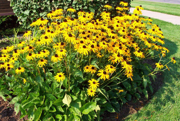 Rudbeckia Goldstrum Black Eyed Susan Flowering Perennial 1g