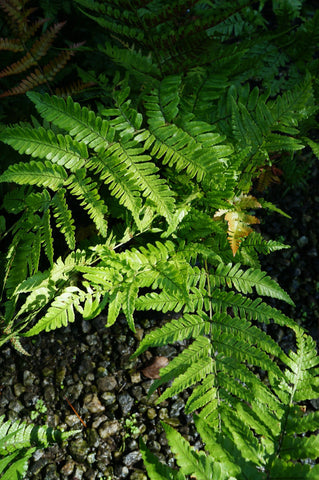 Dryopteris 'Brilliance' Autumn Fern Perennial 1G