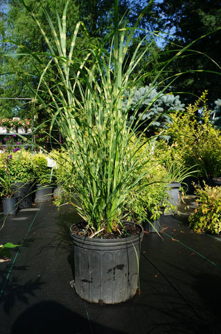 Ornamental Grass Zebra 3g