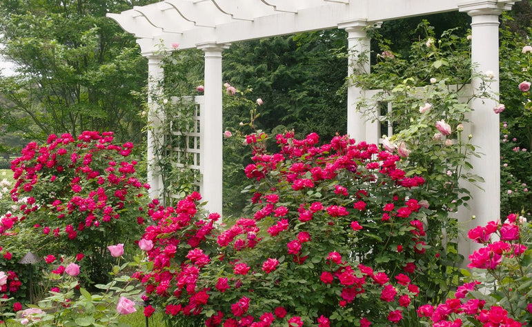 Rosa Knock Out® Double Red Rose Bush 3G