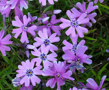Creeping Phlox Purple Beauty