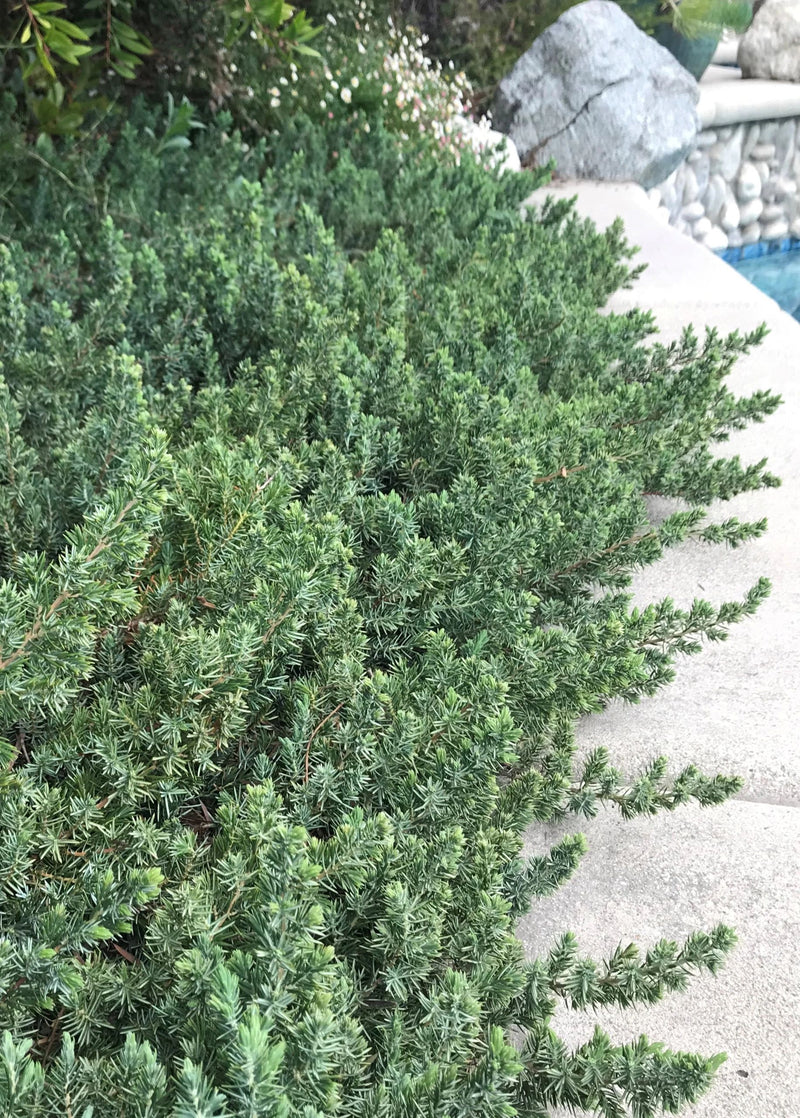 Blue Pacific Juniper Ground Cover