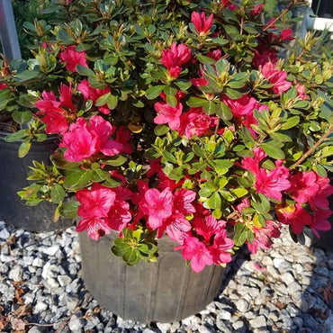 Azalea Hino Crimson 3G Red Early