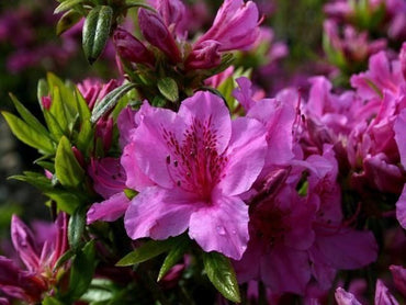 Azalea Purple Splendour 3G Purple Mid