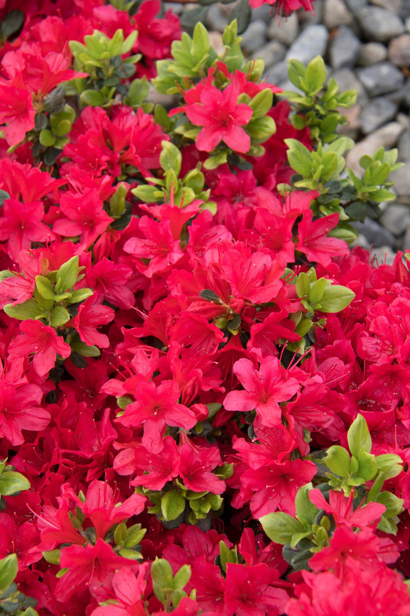 Azalea Girards Crimson Crimson Red