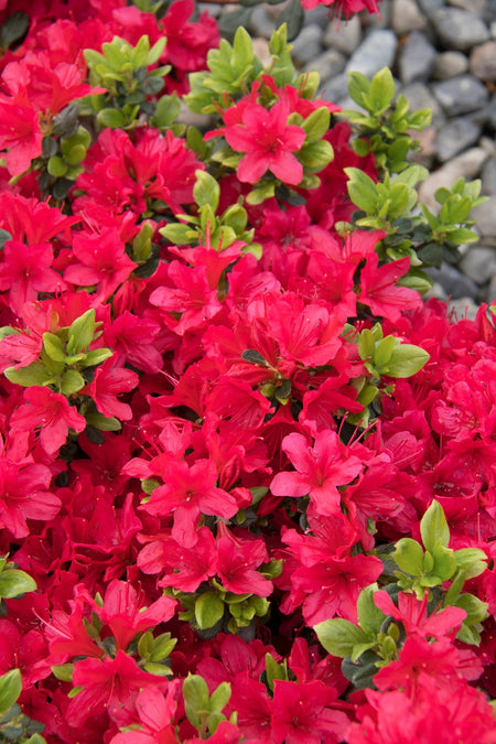 Azalea Girards Crimson Red