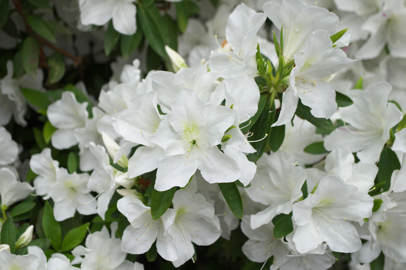 Azalea Girards Pleasant White
