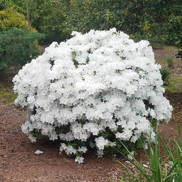Azalea Delaware Valley 3G White