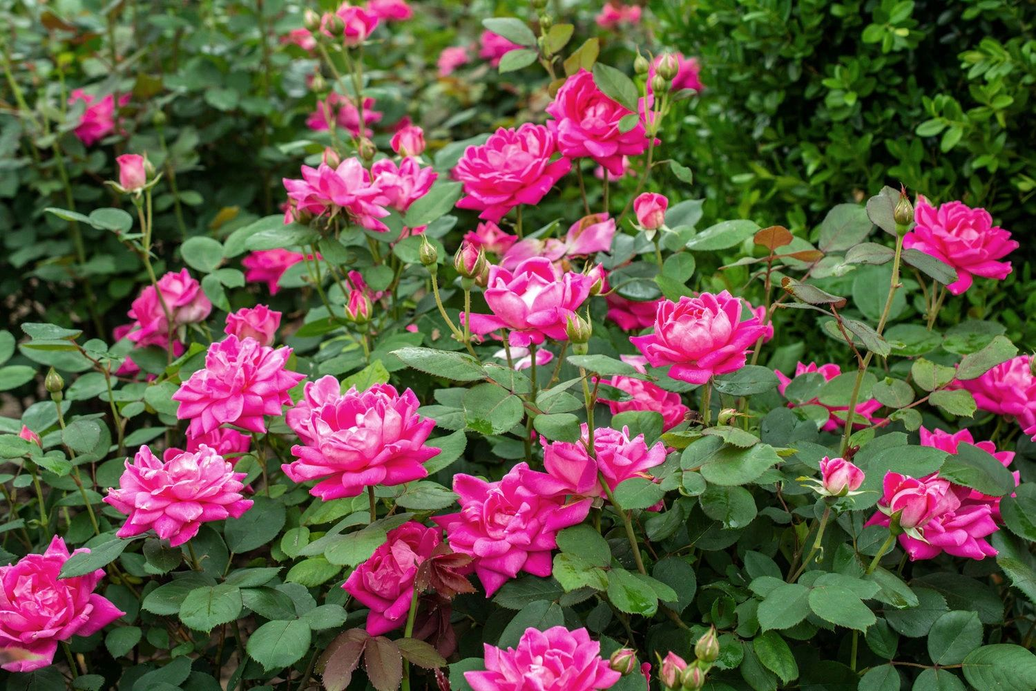 Rosa Knock Out® Double Pink Rose Bush 3G