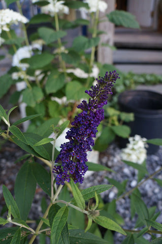 Buddleia Black Knight Butterfly Bush 1G