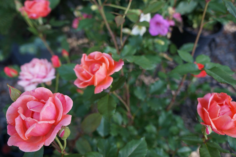 Rosa Knock Out® Coral Rose Bush 3G