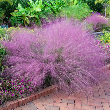 Ornamental Grass 'Pink Muhly' 3g