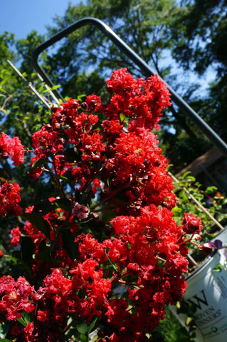 Lagerstroemia 'Dynamite' Crepe Myrtle 3G Deep Red