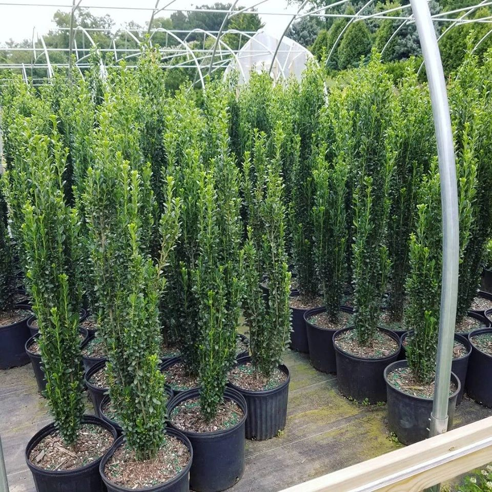 Ilex crenata Sky Pencil Holly 7G
