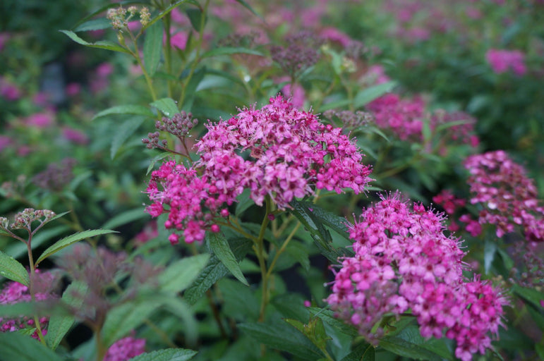 Spiraea Neon Flash 3G
