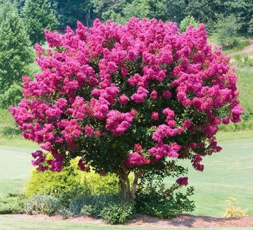 Lagerstroemia Pink Velour Crepe Myrtle 3G Deep Pink