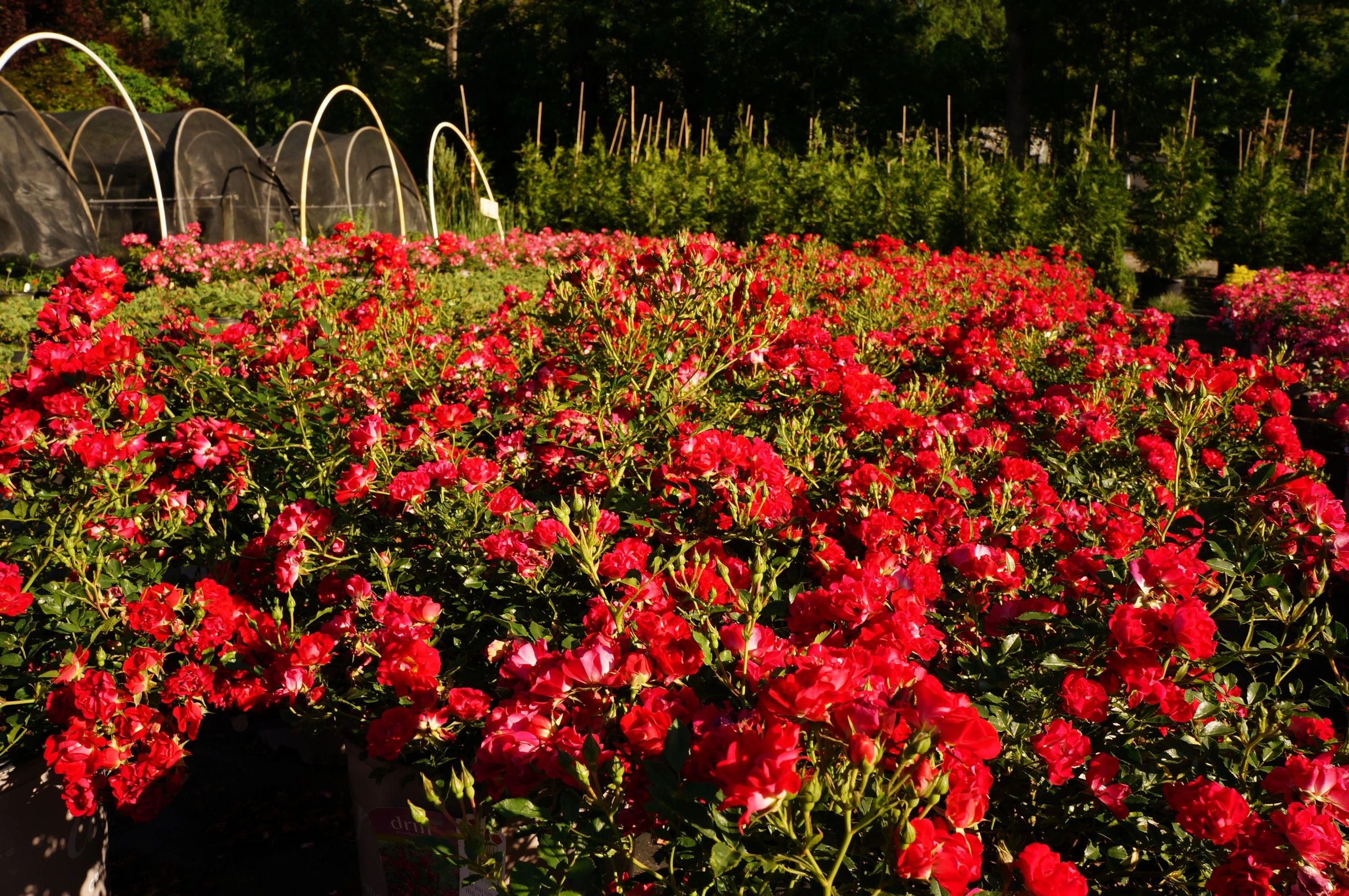 Rosa Drift® Red Rose Bush 3G