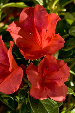 Azalea Encore® Autumn Sunset 3G