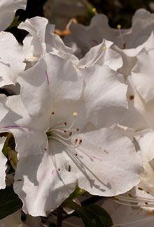 Azalea Encore Autumn Lily White Reblooming