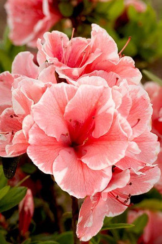 Azalea Encore® Autumn Sunburst 3G