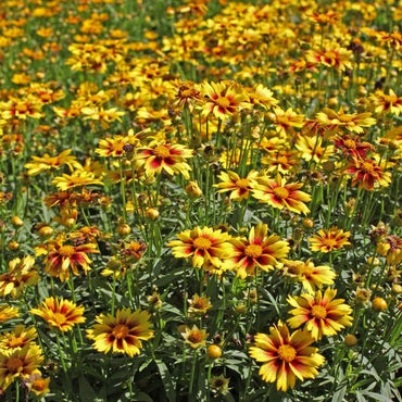 Coreopsis 'Enchanted Eve' Perennial 1 gallon