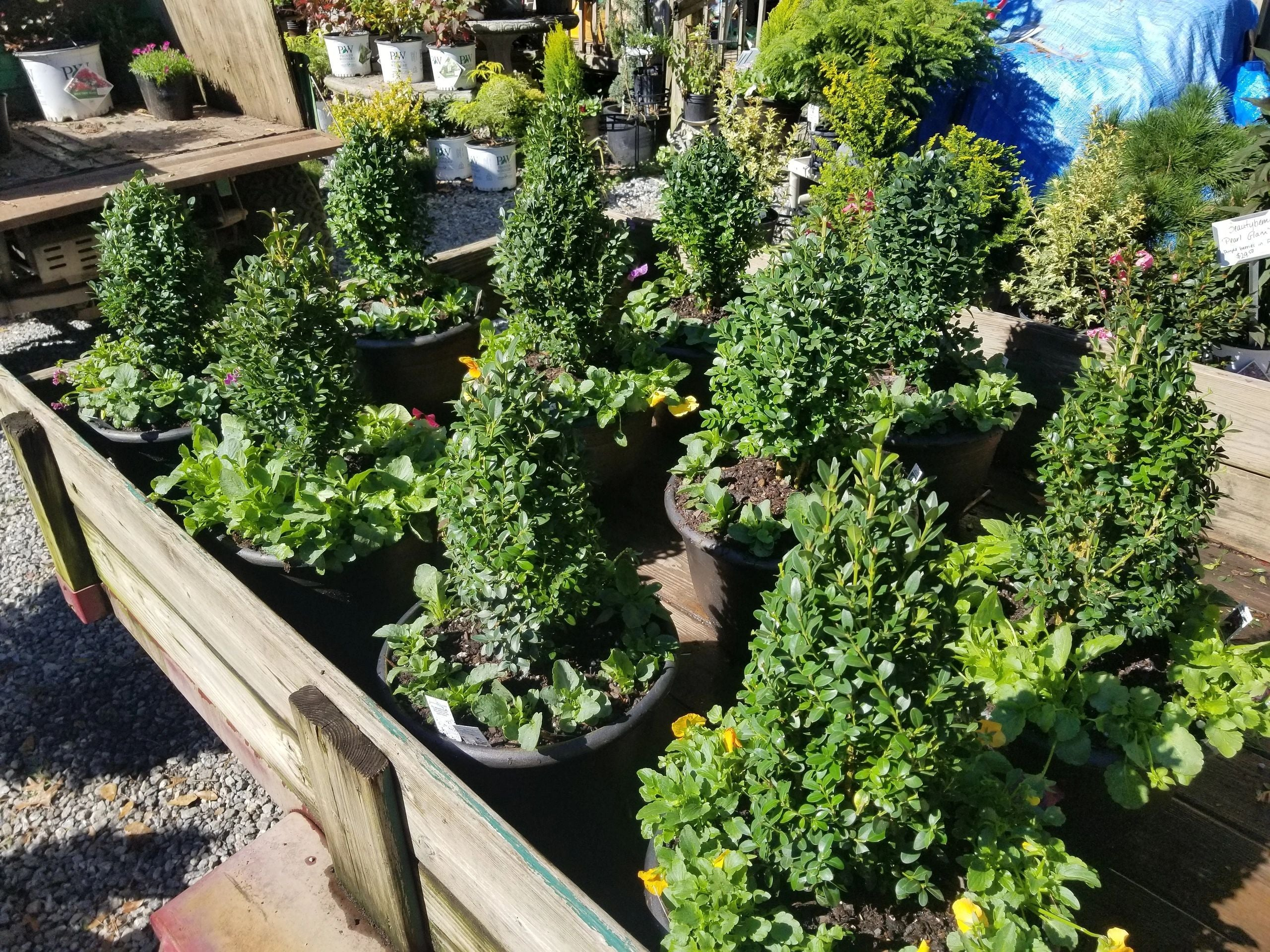 Green Mountain Boxwood and Pansies Pre Made planters