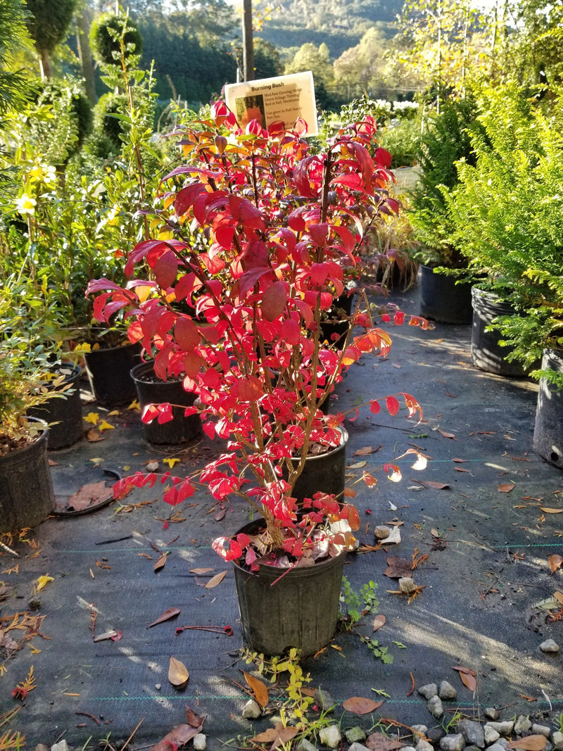 Euonymus alatus Burning Bush 3G