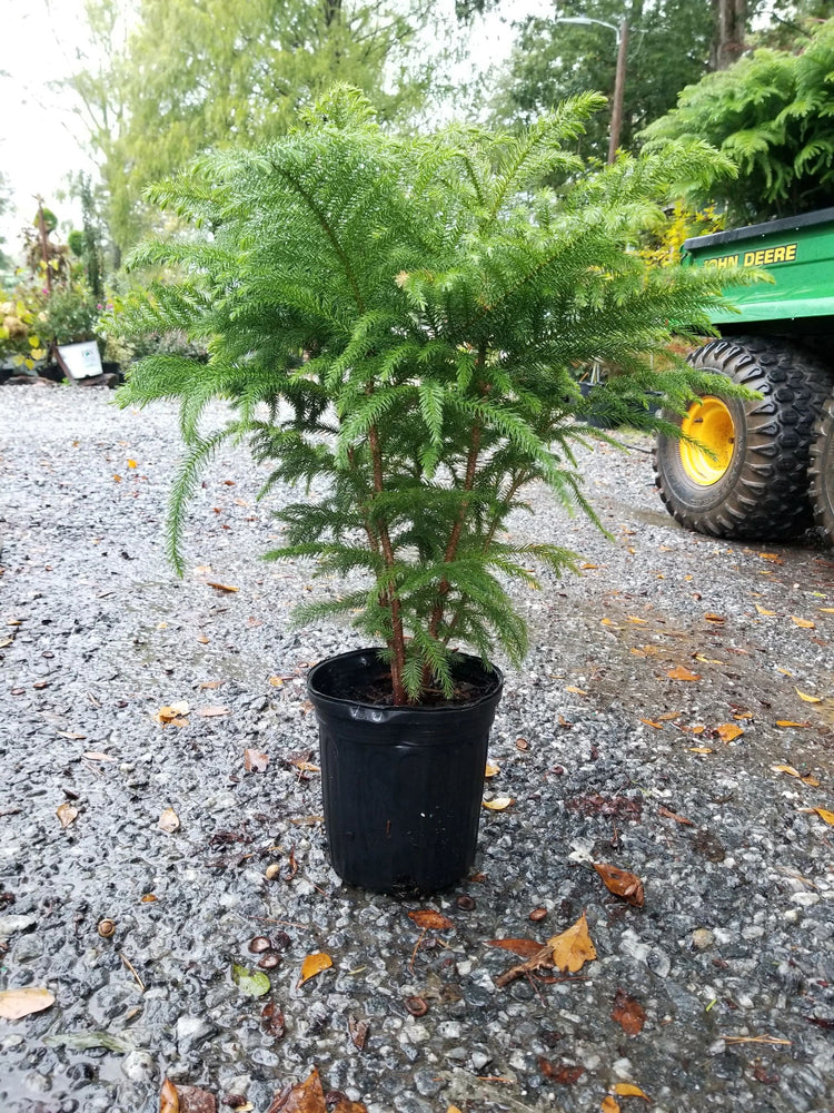 Norfolk Island Pine Great for the Holidays