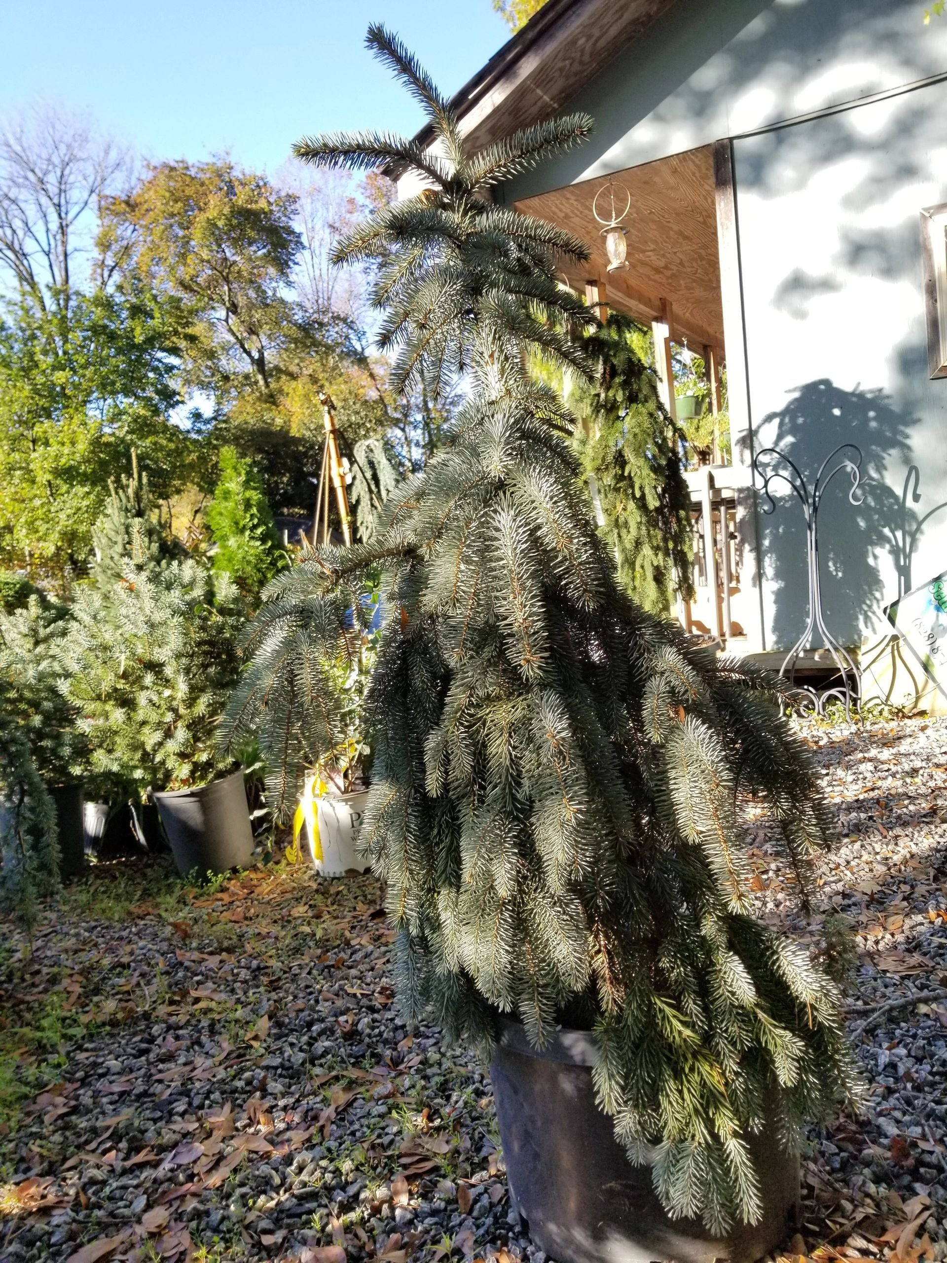 Picea 'The Blues' Weeping Blue Spruce 10G