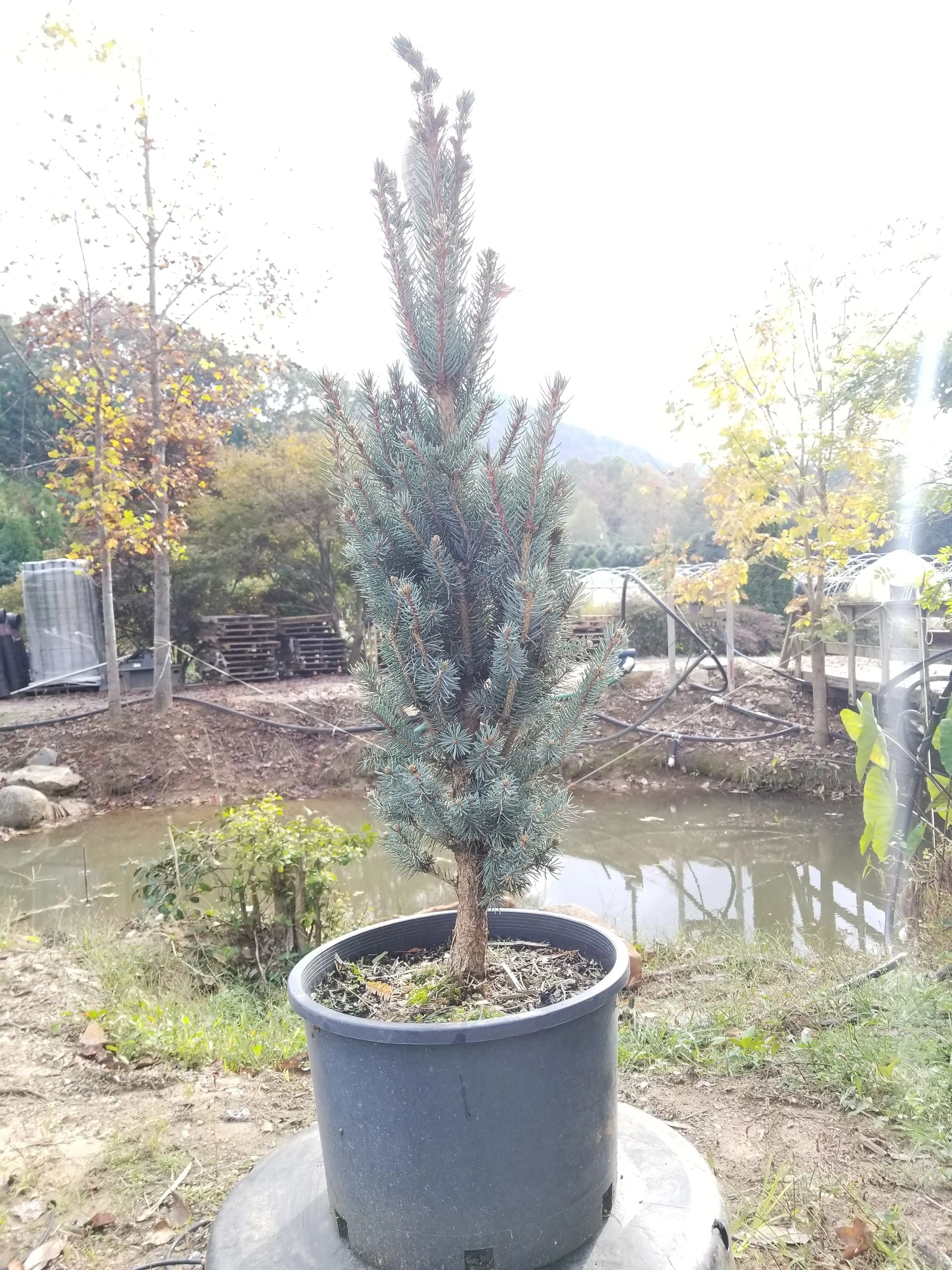 Picea 'Blue Totem' Blue Spruce 7G