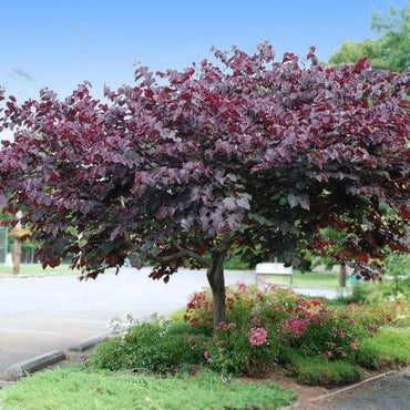 Cercis Forest Pansy Redbud