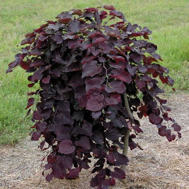 Cercis Ruby Falls Weeping Red bud 15G