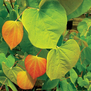 Cercis Rising Sun Red Bud 15G