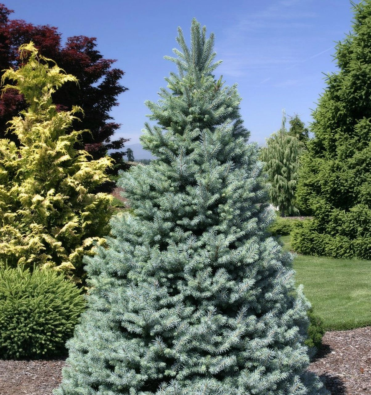 Picea 'Sester Dwarf'® Blue Spruce 5G