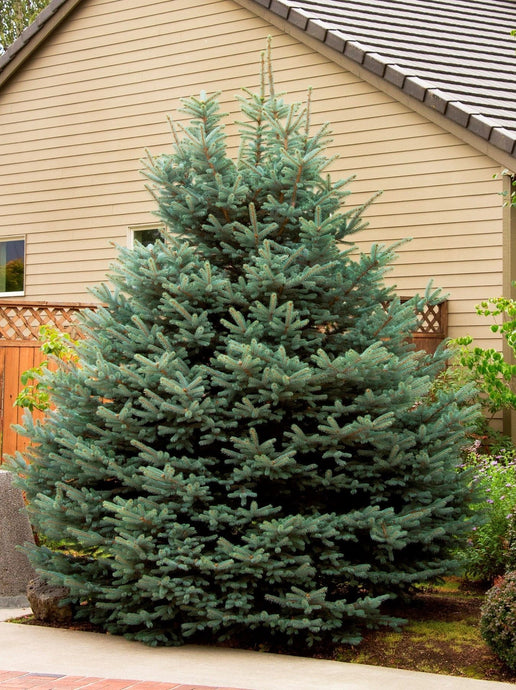 Picea Fat Albert Blue Spruce 25G