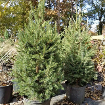 Picea Norway Spruce 3G