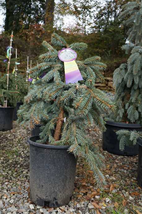 Picea 'The Blues' Weeping Blue Spruce 5G