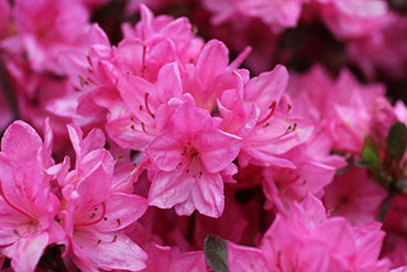 Azalea Tradition 3G Pink Mid