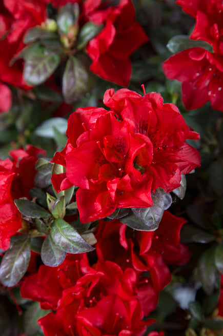 Azalea Encore® Autumn Fire 3G